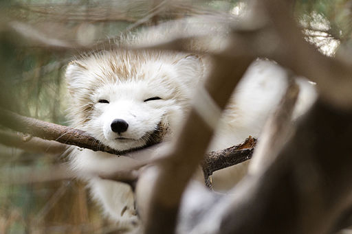 Soggy Fox Hiding in a Tree (11639788834)