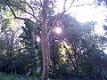 Sol entre los árboles- arboretum lussich.JPG