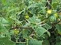 Solanum viarum 06.JPG