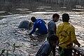 Soltura de peixe-boi, Amapá (48997102573).jpg