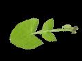 Sonchus oleraceus leaf.png