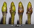Sorbus domestica sl17.jpg
