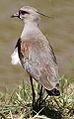 Southern Lapwing (Vanellus chilensis) (9606853573).jpg