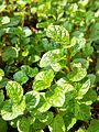 Spearmint in Bangladesh 11.jpg