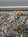 Spergularia marina sl46.jpg