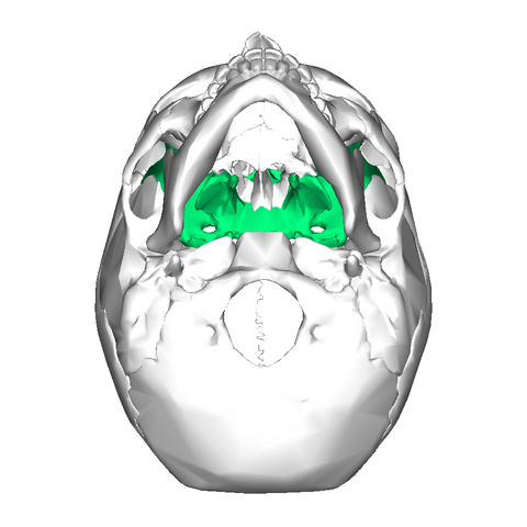 file:sphenoid bone - inferior view - wikimedia commons, Human Body