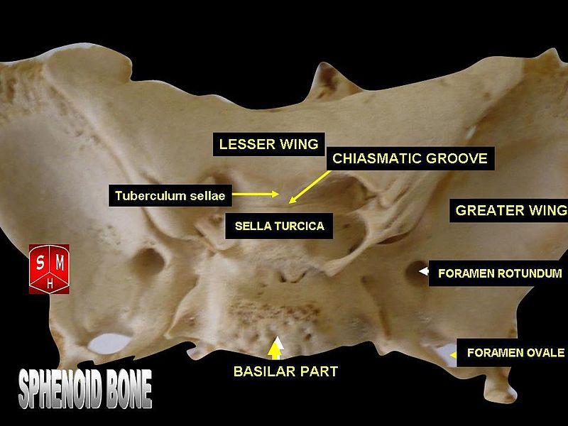 sphenoid bone - howlingpixel, Human Body