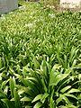 Spider Lily (Hymenocallis speciosa).jpg