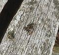 """Spinne im Naturschutzgebiet """"Murner Filz"""".jpg"""