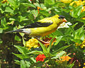 Spinus tristis (Goldfinch) Linnaeus, 1758, Male (20007803714).jpg