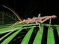 Spiny Stick Insect (Haaniella saussurei) (6760732487).jpg