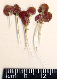 SpirodelaPolyrhiza