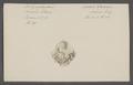 Spondylus gaederopus - - Print - Iconographia Zoologica - Special Collections University of Amsterdam - UBAINV0274 074 10 0030.tif