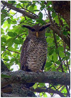 Spot-bellied eagle-owl Species of owl