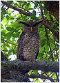 Spot-bellied Eagle-Owl by N.A. Nazeer.jpg