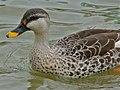 Spot-billed Duck (Anas poecilorhyncha) (6950536642).jpg