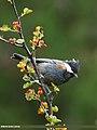 Spot-winged Tit (Periparus melanolophus) (29067816685).jpg