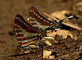Spot swordtail by N A Nazeer.jpg