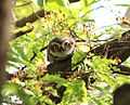 Spotted Owl whitefield.jpg