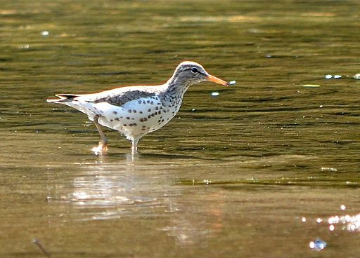 Spotted Sandpiper (7323556820)