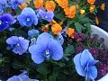 SpringFlowersBlueOrangePurple.jpg