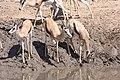 Springbok (Antidorcas marsupialis) (8604278368).jpg