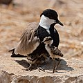 Spur-winged lapwing with chicks.jpg