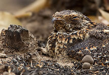 Standard-winged Nightjar 2.jpg