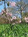 Staphylea holocarpa rosea (17251459672).jpg
