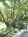Staro drvo na Kalugjer vo Rogachevo.JPG