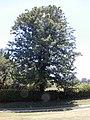 Starr-020630-0036-Grevillea robusta-habit-Hui Noeau Makawao-Maui (24524073966).jpg