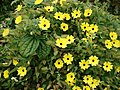 Starr-090430-7047-Thunbergia alata-cv Sundance yellow flowers-Enchanting Floral Gardens of Kula-Maui (24326948673).jpg