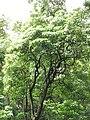Starr-090618-1126-Aleurites moluccana-habit-Honomanu Hana Hwy-Maui (24847730882).jpg