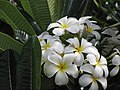 Starr-090720-2992-Plumeria obtusa-flowers and leaves-Waiehu-Maui (24339438154).jpg