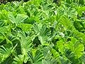 Starr-090720-3068-Colocasia esculenta-habit in loi-Waiehu-Maui (24674685090).jpg