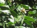 Starr-090720-3202-Hymenaea courbaril-flower buds and leaves-West Main Wailuku-Maui (24343534623).jpg