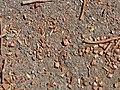 Starr-090720-3211-Hymenaea courbaril-seeds on ground-West Main Wailuku-Maui (24852408332).jpg