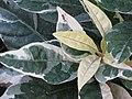 Starr-090730-3430-Graptophyllum pictum-leaves-Honolulu Airport-Oahu (24877414481).jpg