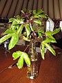 Starr-091028-8674-Jatropha gossypifolia-habit-Kahului-Maui (24360257843).jpg