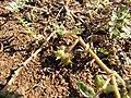 Starr-091106-9370-Tribulus terrestris-fruit and leaves-Kanaha Beach-Maui (24693606290).jpg