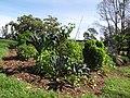 Starr-091108-9424-Brassica oleracea-kale Tuscany in vegetable garden-Olinda-Maui (24621684729).jpg