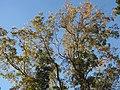 Starr-110209-0552-Carya illinoinensis-habit fall colors-MISC Piiholo-Maui (24447092083).jpg