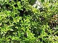 Starr-110209-0836-Lantana montevidensis-leaves-Resort Management Group Nursery Kihei-Maui (24956621302).jpg