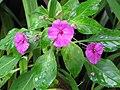 Starr-110330-3649-Impatiens walleriana-flowers and leaves-Garden of Eden Keanae-Maui (24784970220).jpg