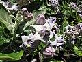 Starr-120513-5864-Calotropis gigantea-flowers-Waihee Coastal Preserve-Maui (24847032220).jpg