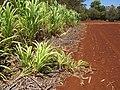 Starr-120702-7862-Cenchrus purpureus x glaucum-Hoolehua PMC hybrid Pearl Millet x banagrass fallen over rerooting-USDA Plant Materials Center-Molokai (25159811166).jpg