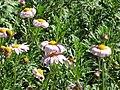 Starr-130304-1962-Unknown asteraceae-flowering habit-Montrose Crater Rd Kula-Maui (24579571513).jpg