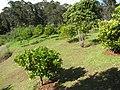 Starr-130605-2244-Citrus sinensis-Navel orange grove-Ehu Rd Piiholo-Maui (24915826360).jpg