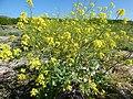 Starr-150328-0641-Brassica juncea-flowering habit-Northwest Eastern Island-Midway Atoll (25242640436).jpg