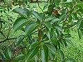 Starr-180406-0770-Cinnamomum camphora-leaves-DOFAW Arboretum Hilo-Hawaii (39560058730).jpg